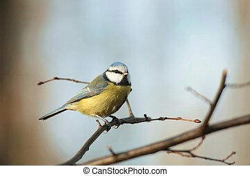 Blue tit - Portrait of Blue tit - Parus caeruleus - in the...