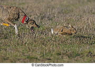 Brown hare, Lepus europaeus, Hare couring event...