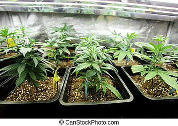 Marijuana crop growing indoors.