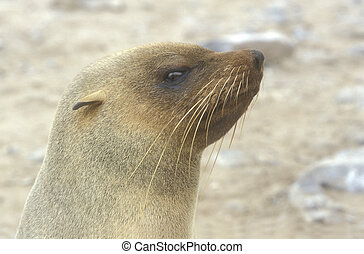 Cape fur seal, Arctocephalus pusillus, single mammal head...