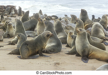 Cape fur seal, Arctocephalus pusillus, group of mammals,...