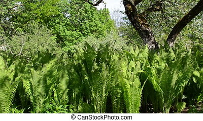 fern plants move wind - Fern plant leaves growing under...