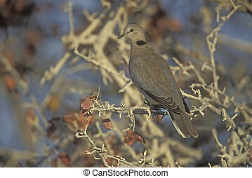 Ring-necked or Cape-turtle dove, Streptopelia capicola,...