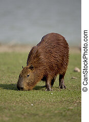 Capybara, Hydrochoerus hydrochaeris, single mammal on grass,...