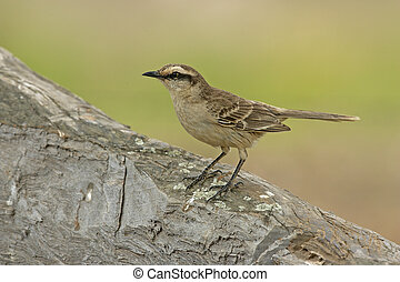 Chalk-browed mockingbird, Mimus saturninus, single bird on...