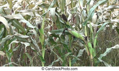 ripe maize plant field - ripe mature maize field panoramic...