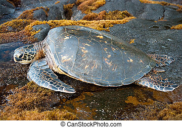Big green turtle on Hawaii