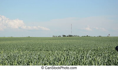 girl summer corn field - blonde girl with summer clothing...