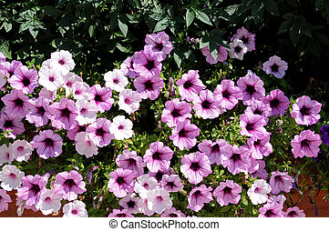 petunia flowers - a view of garden with many petunia flowers...