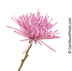 pink spider mum aster flower isolated on white background