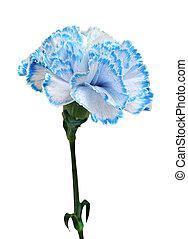 blue carnation isolated on white background