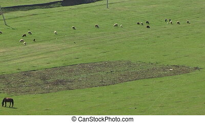 Grassing sheep - Sheep grassing in a green field