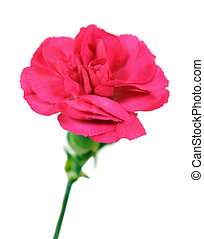 carnation - a red pink carnation isolated on white...