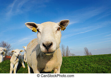 cute lambs in spring - cute lambs and mother sheep in...