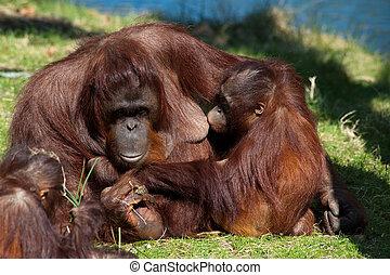 mother and baby orangutan - orangutan giving milk to her...