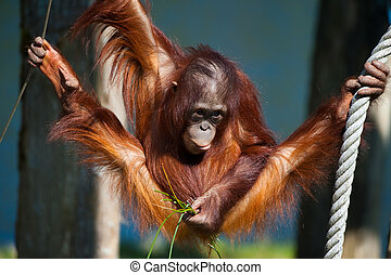 cute orangutan having fun