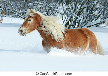 Nice haflinger with long mane running in the snow - Nice...