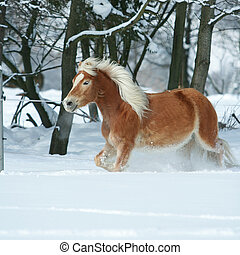 Amazing haflinger running in the snow - Amazing chestnut...