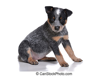 Cute Puppy - puppy australian cattle dog white background