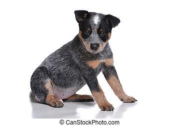 Cute Puppy - puppy australian cattle dog white background
