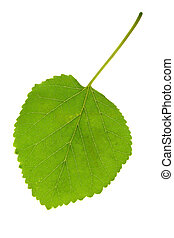 Leaf mulberry - mulberry leaf on a white background...