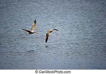 Two seagulls in flight - Two seagulls flying low, close to...