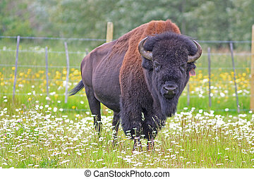 bison bull watches with a wary eye - bison bull in a meadow...