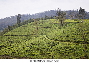 Tea Gardens in Nilgiri mountains, Ooty, India