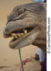 Detail of a mouth of a camel