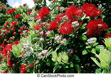 Pohutukawa red flowers blossom on the month of December in...