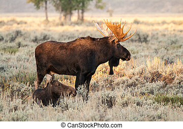 Moose - A bull and cow moose in a field
