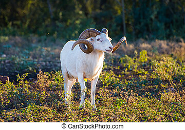 Texas Dall Sheep Ram standing in the sunlight