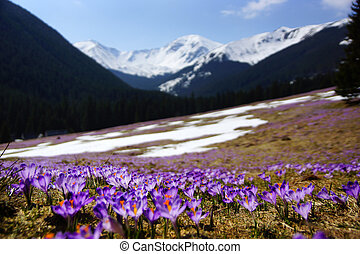 Crocuses in Chocholowska valley, Tatras Mountain, Poland -...