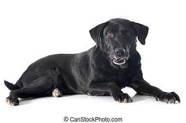old labrador retriever - old labrador retriever in front of...
