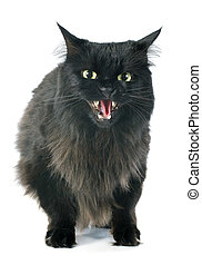 furious cat - black cat angry in front of white background