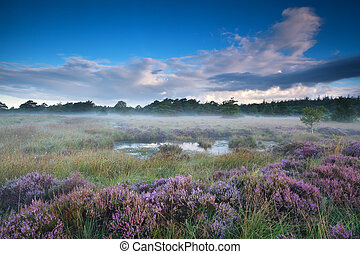 heather flowers in misty morning around swamp