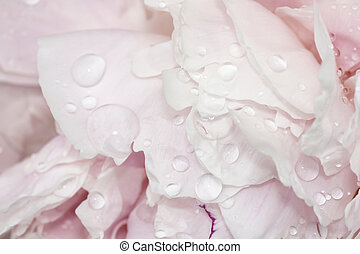 Pale pink peonies with water - Beautiful soft pink peonies...