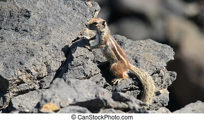 barbary ground squirrel watch Atlan - A close up of a...