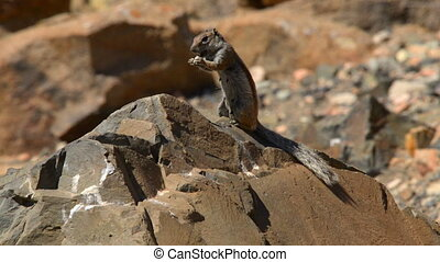 barbary ground squirrel eat - A close up of an eating...