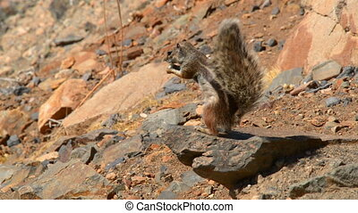 barbary ground squirrel eat bird - 11120 A close up of an...