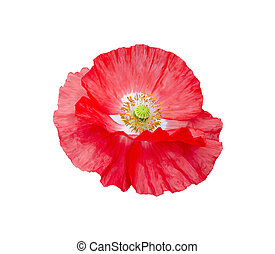 Poppy red with white center and yellow stamens - Red poppy...