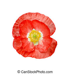 Poppy red with yellow stamens - One red poppy with white...