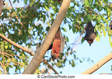 Flying Fox on the tree