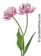 tulip - Studio Shot of Pink Colored Tulip Flowers Isolated...