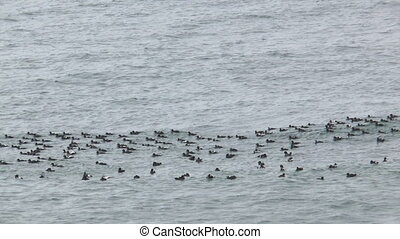 seabirds riding on waves medium sh - large flock of seabirds...