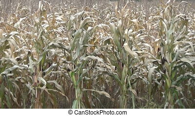 maize field - close view to the maize field autumn moves...