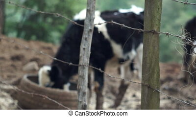 Barbed Wire Fence with Cows - Cows feeding from an old, used...