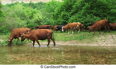 Cows on a riverside - Herd drinking water from the river