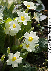English primrose - Common primrose or English primrose...