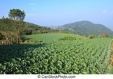 Cabbage agriculture fields
